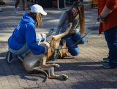 Hannah Wichrowski photo. Students enjoy the company of emotional support dogs at Recycle Madness.